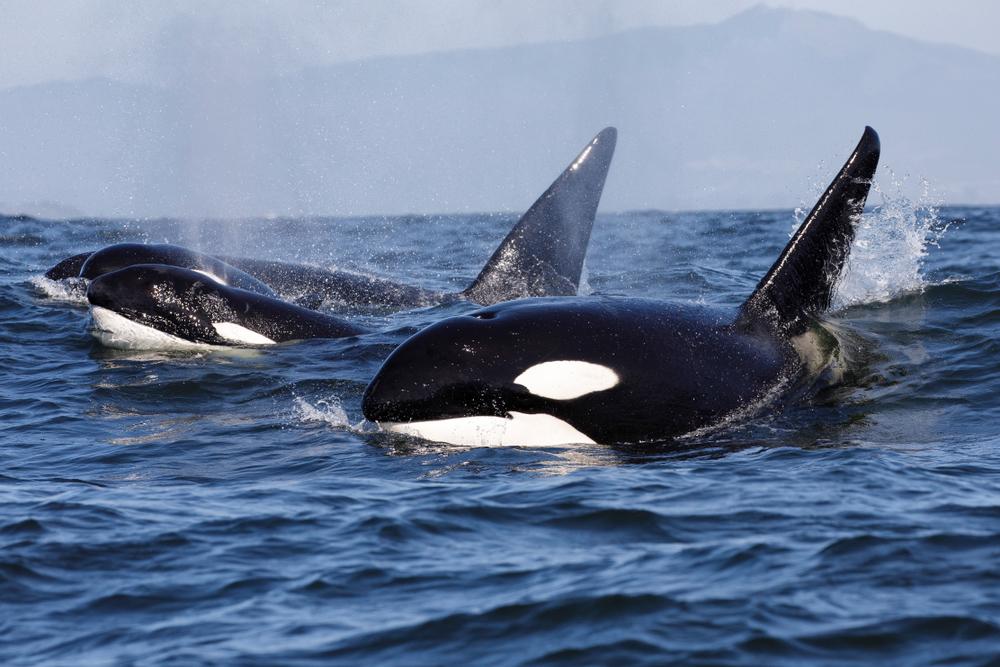 Traurig: Wal-Mami schiebt ihr totes Kind tagelang durchs Meer