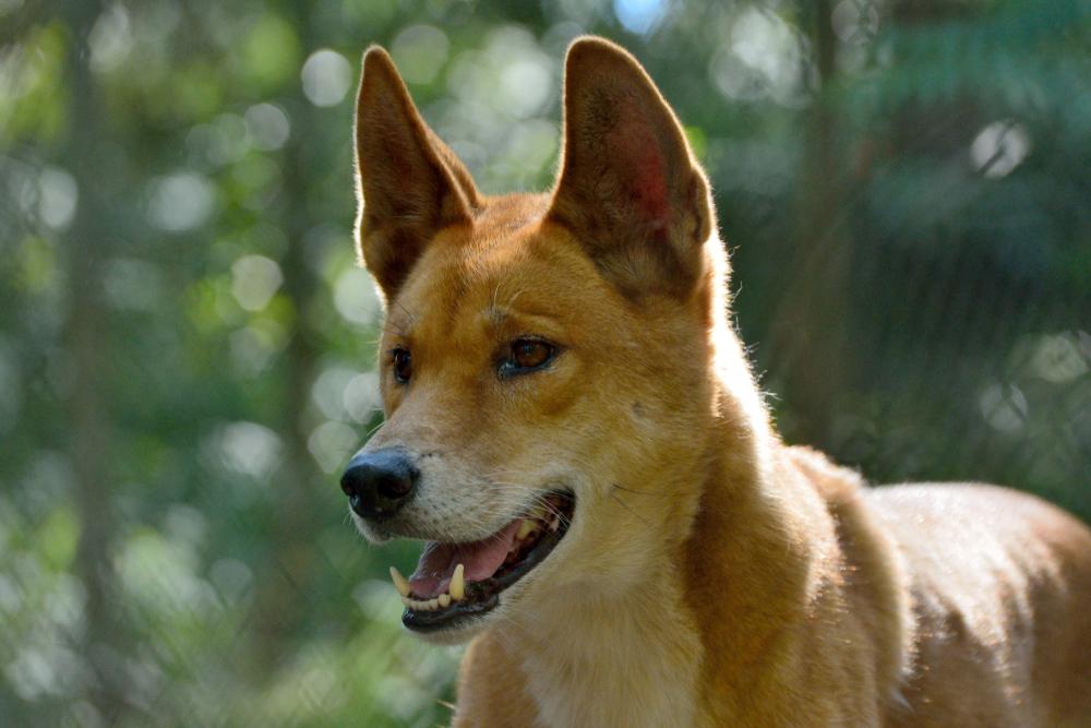 Australien: Vater rettet Baby aus Maul eines Dingos