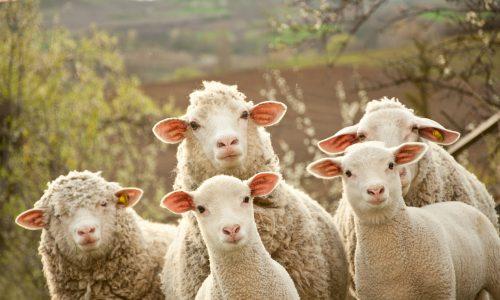 Frankreich: Eltern schreiben Schafe an Schule um vor Schließung zu retten
