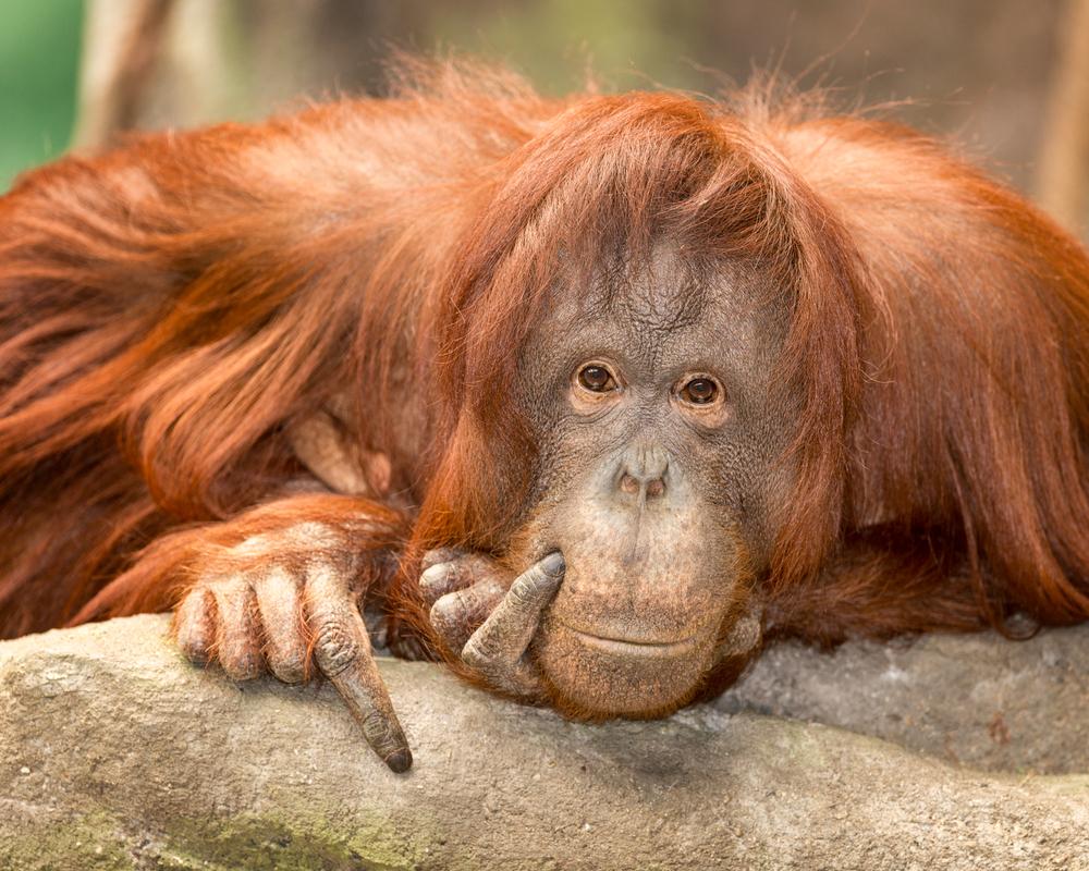 Orang-Utan zeigte sich von stillender Mama fasziniert